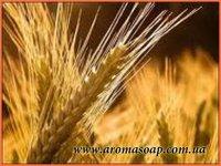 Олія зародків пшениці рафінована опт 5 кг.